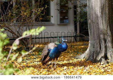 Blue peacock walking over orange leaves near a tree