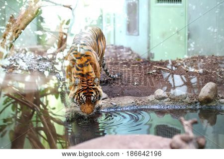 Beautiful tiger feline drinking water in a pond in a zoo