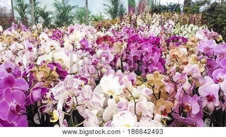 Colorful moth orchids in flower. Phalaenopsis orchids in greenhouse.