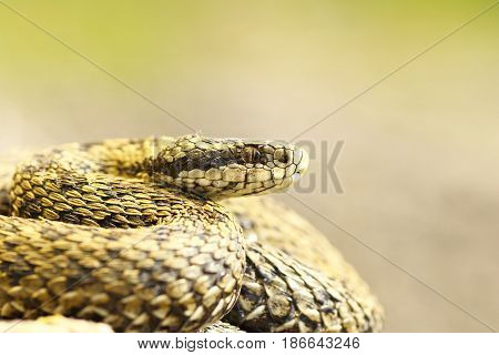 beautiful macro shot of meadow viper ( Vipera ursinii rakosiensis female the most elusive european snake )