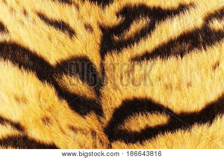 close up of tiger black stripes on fur animal pelt real texture