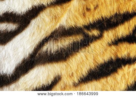 closeup of tiger fur with beautiful stripes real texture of animal pelt