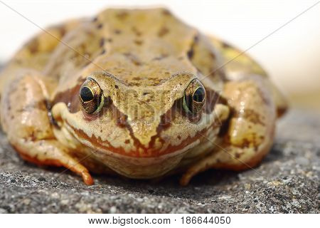 european common brown frog portrait animal standing on a rock ( Rama temporaria )