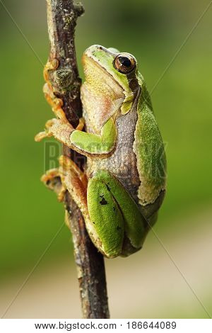 cute european tree frog climbing on twig ( Hyla arborea )