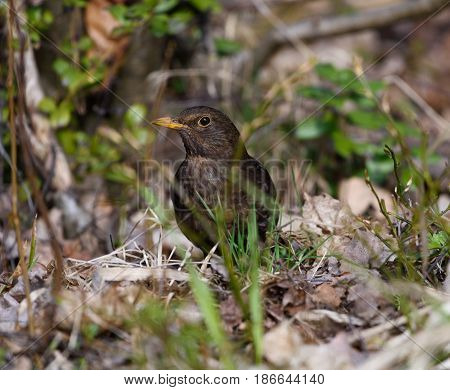Blackbird in the middle of plain undergrowth of the early spring Finnish nature in Helsinki Finland on 14 May 2017.