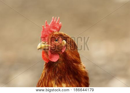 cute hen portrait over out of focus background