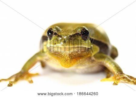 cuteeuropean tree frog on white background ( Hyla arborea portrait )