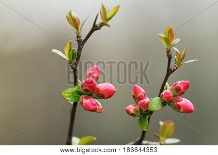 detail of red japanese cherry flowers over out of focus background