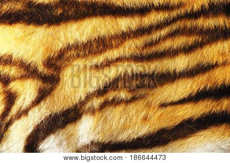 detail of colorful tiger fur animal pelt texture for your design