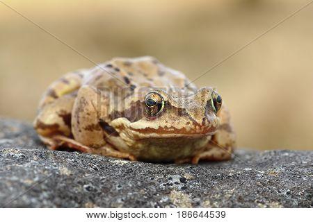 european common frog standing on a stone closeup (Rana temporaria)