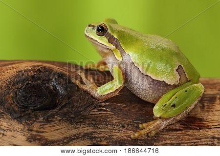 female tree frog on wooden stump ( Hyla arborea )