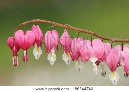 fukuhara bleeding heart flowers over green out of focus background ( Dicentra spectabilis syn. Lamprocapnos spectabilis )