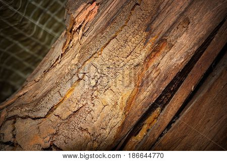 Gloeophyllum abietinum attack on spruce rafter one of wood timber main problem in constructions