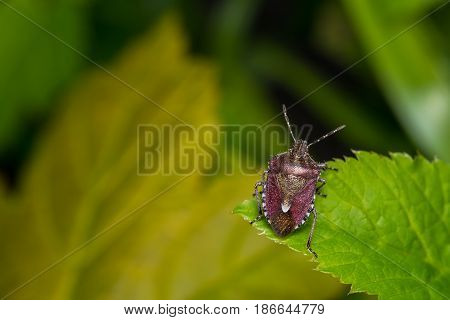 Small brown stink bug resting on a leaf.