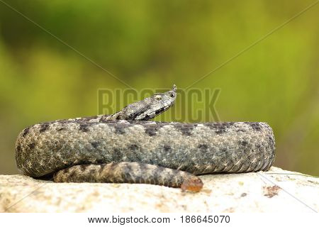 large male nose horned adder from Romania ( Vipera ammodytes ) the most dangerous of european snakes