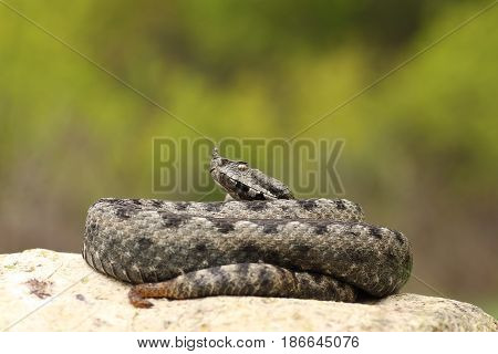 large dangerous nose horned viper basking on a rock ( Vipera ammodytes )