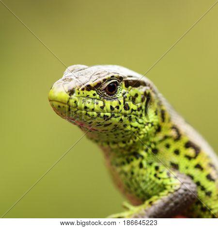 macro portrait of Lacerta agilis the european common sand lizard