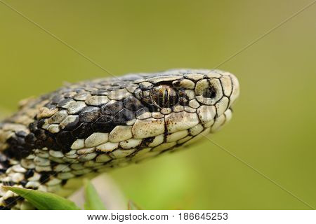 macro portrait of the elusive hungarian meadow viper ( Vipera ursinii rakosiensis )