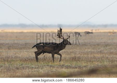 male fallow deer walking on meadow autumn image in mating season