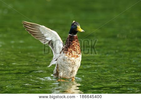 male mallard duck spreading wings on pond ( Anas platyrhynchos )