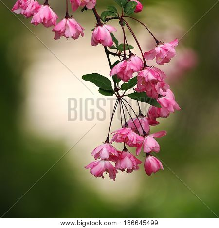 pink japanese cherry flowers over green out of focus background