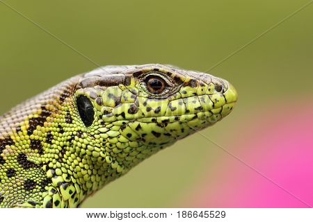 portrait of beautiful male sand lizard ( Lacerta agilis ) detail on scales pattern