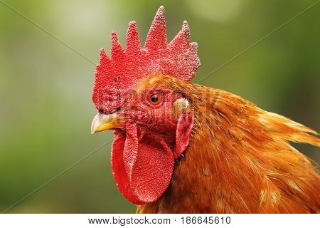 portrait of colorful rooster at the farm out of focus green background