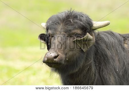 portrait of domestic buffalo over out of focus background ( V - water buffalo calf )