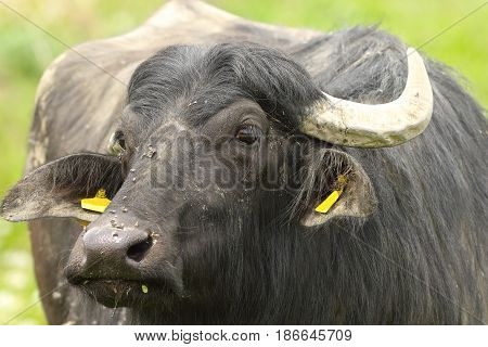portrait of domestic water buffalo ( Bubalus bubalis )