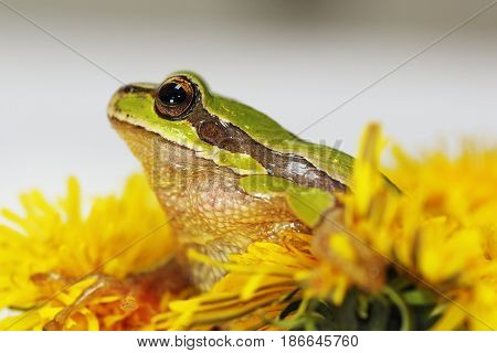 prince frog in dandelion flower ( Hyla arborea the european tree frog and Taraxacum officinale in bloom )