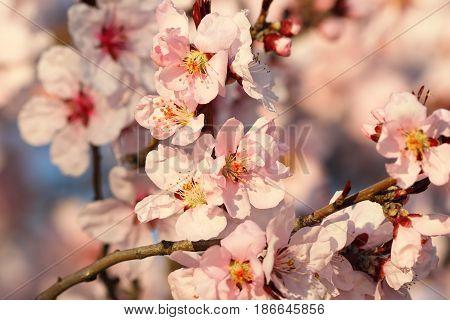 sakura flowers in bloom detail of colorful twig in march