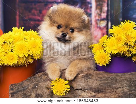 spitz Pomeranian and dandelion flowers