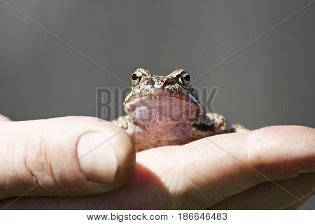 Frog sitting on a human hand. Little brown frog was caught by a man and sits calmly on his arm. Frog on grey background.