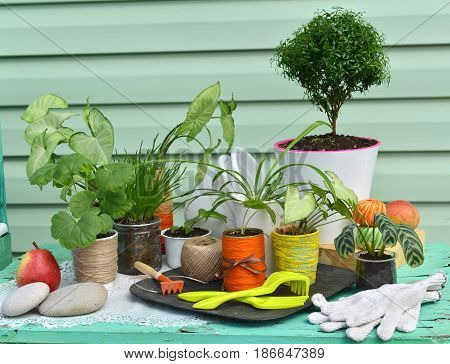Vintage still life with myrtle tree, syngonium and other houseplants against green modern background. Gardening still life with flowerpots, tools and planting supplies