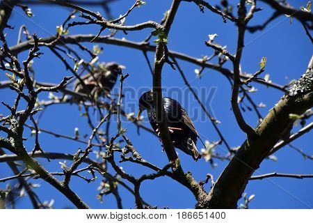 Two starlings are sitting on a tree branch