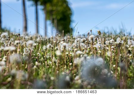 Meadow With Faded Dandelions