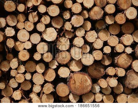 cut pine trunks on the forest background