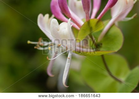 Flower of an Etruscan honeysuckle bush (Lonicera etrusca) an endemic of the Mediterranean region.