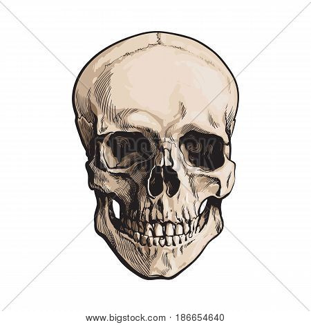 Hand drawn human skull, anatomical model, sketch style vector illustration isolated on white background. Realistic front view hand drawing of human skull