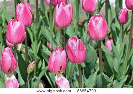 Pink tulips blooming on spring. Horizontal image.