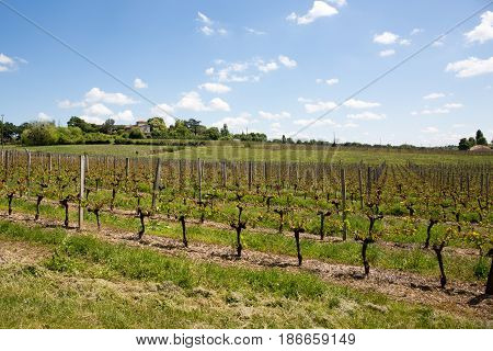 Beautiful Summer Sun The Vines In The Bordeaux Region Grows