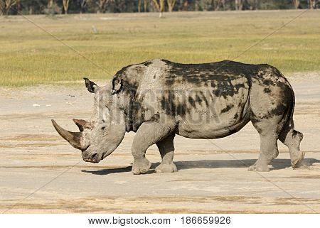 White rhinoceros is the largest species of rhinoceros is severely threatened of extinction