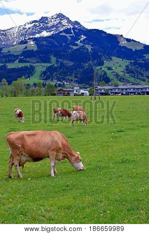 Cows in a meadow with Austrian Alps on background. Vertical image.