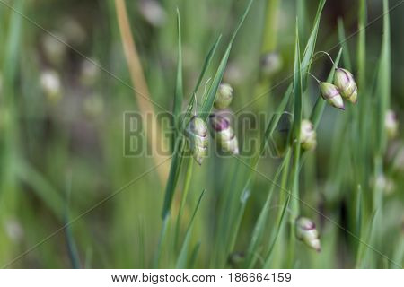 Spike of the grass big quaking grass (Briza maxima)
