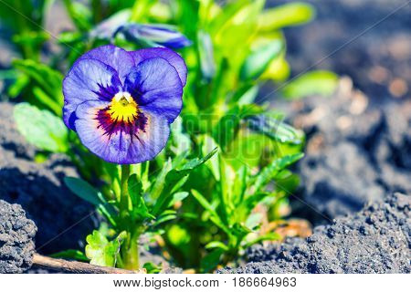 Viola tricolor, pansy flower in the spring garden 1