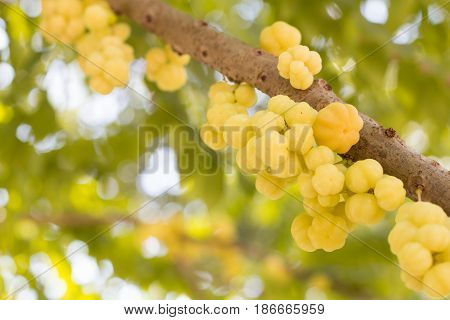 Star gooseberry fruit. Phyllanthus acidus known as the Otaheite gooseberry star damsel grosella karamay.
