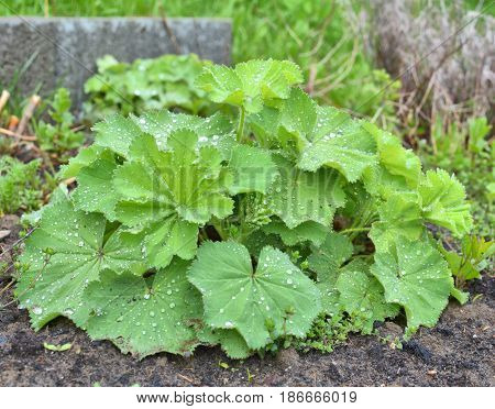 Lady's mantle Alchemilla plant with rain drops on leaves. Ornamental and medicinal herb
