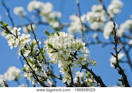Twig with flowering white plum blossoms closeup