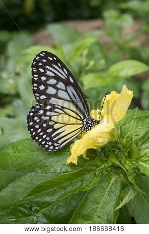 Malaysian Butterfly Feeding on Yellow Flower, Closed Wings