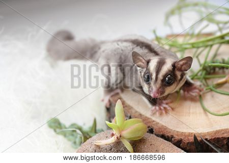 Cute funny sugar glider on decorative stub against light background